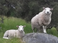 Sheep on our Farm