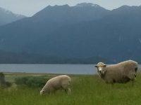 Sheep Overlooking Lake Te Anau